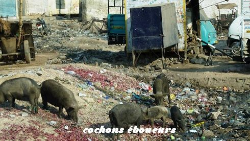 19 cochons