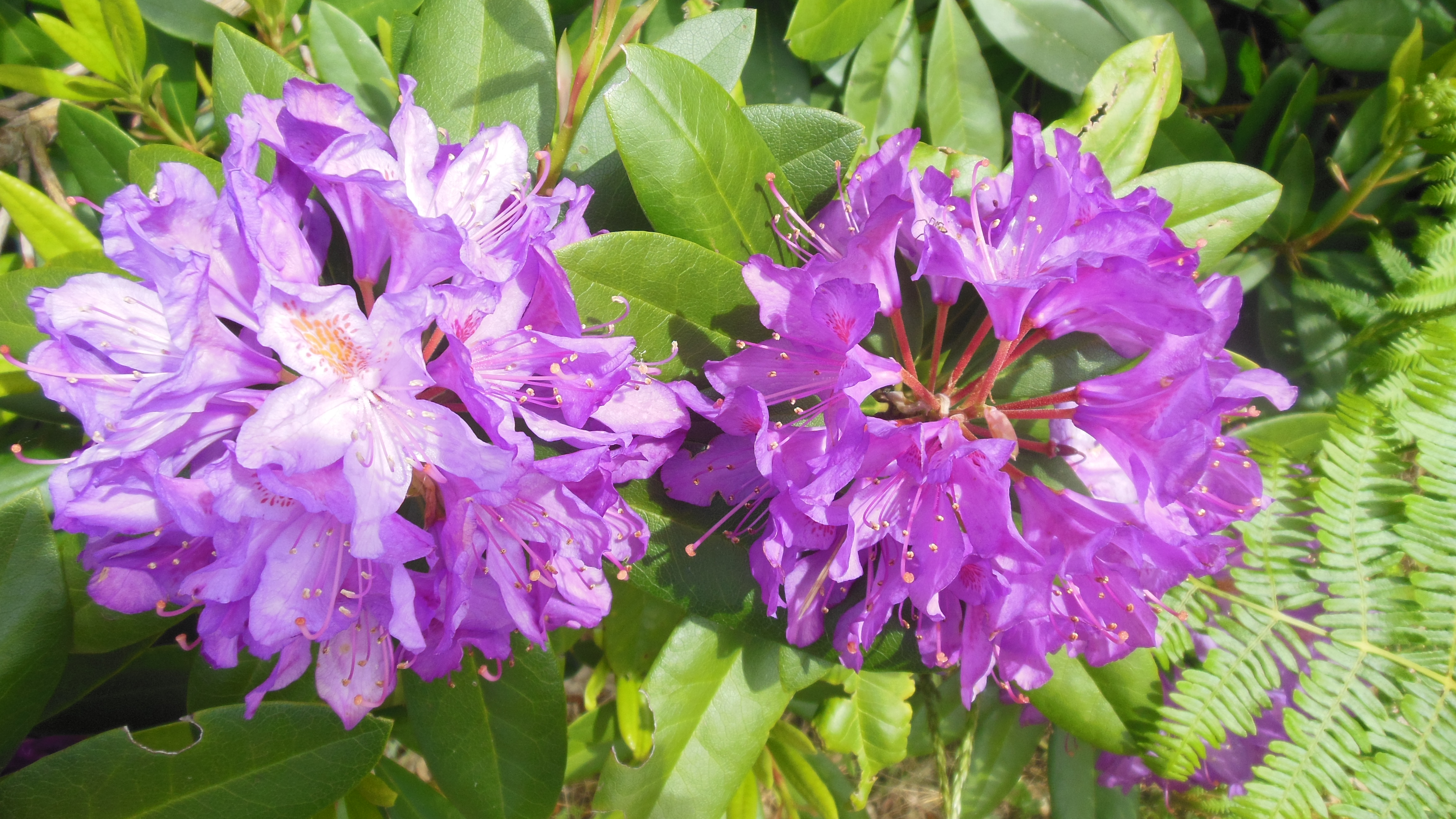 13 rhododendrons