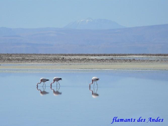 flamant des Andes4