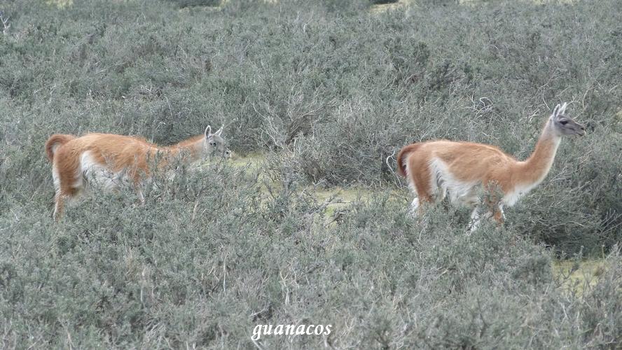 guanaco nandou (5)