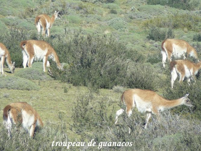 guanaco nandou (7)