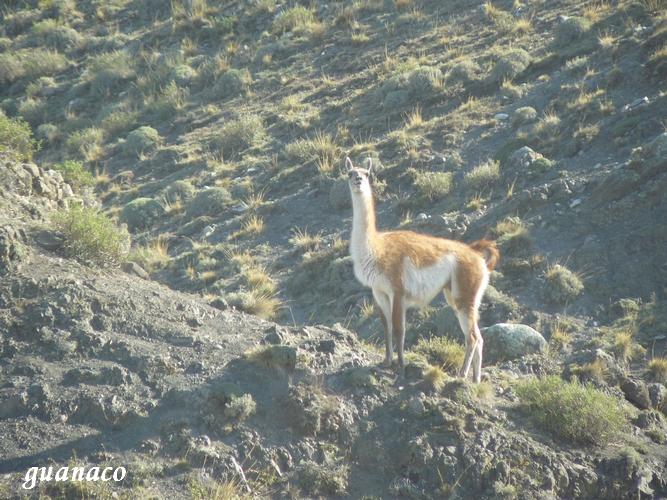 guanaco nandou (8)
