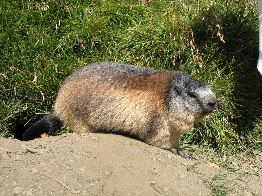 36-bis-marmotte