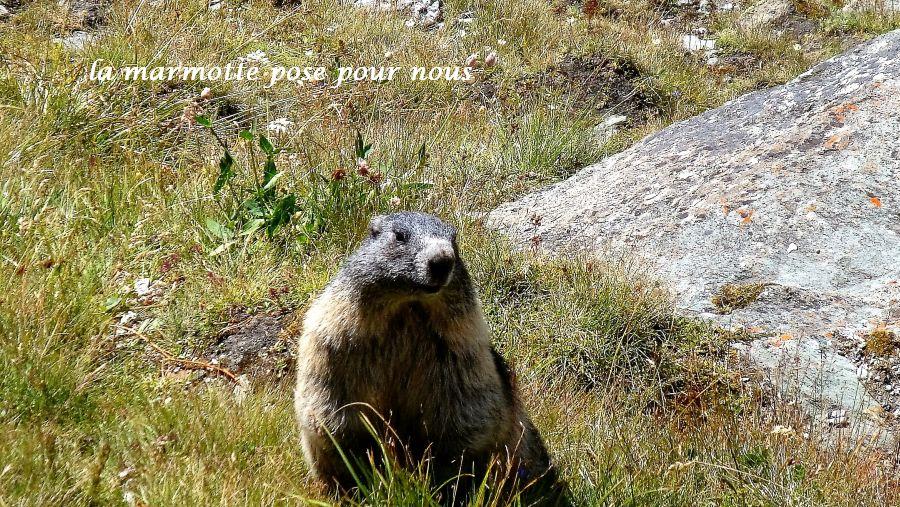 36-marmotte