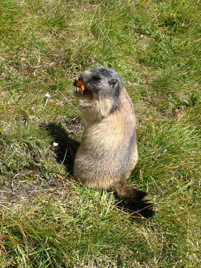 36-ter-marmotte