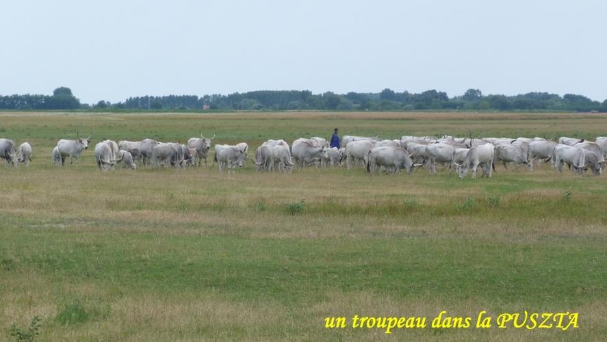 puszta-troupeau
