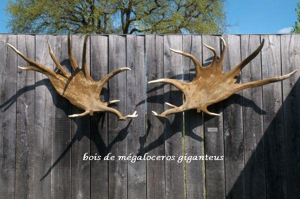 004 bois de megaloceros giganteus