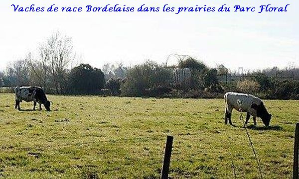 01 vache race bordelaise (2)