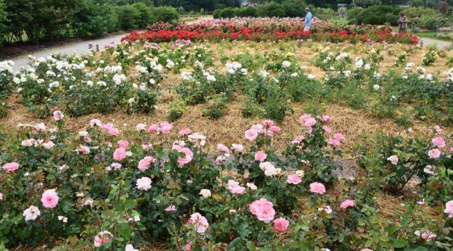 29 roses