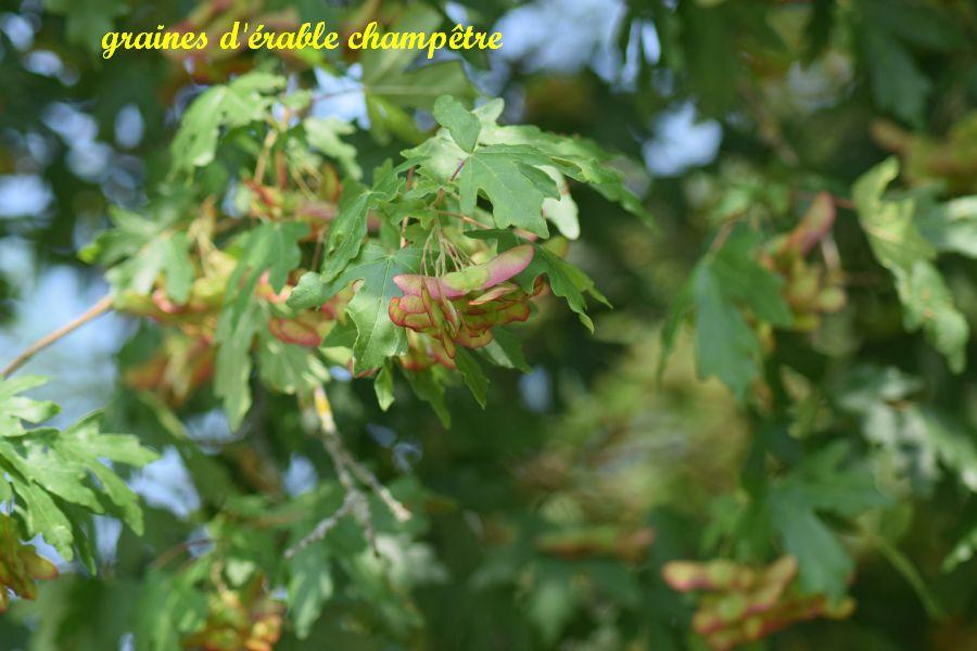 27 graines d érable champêtre
