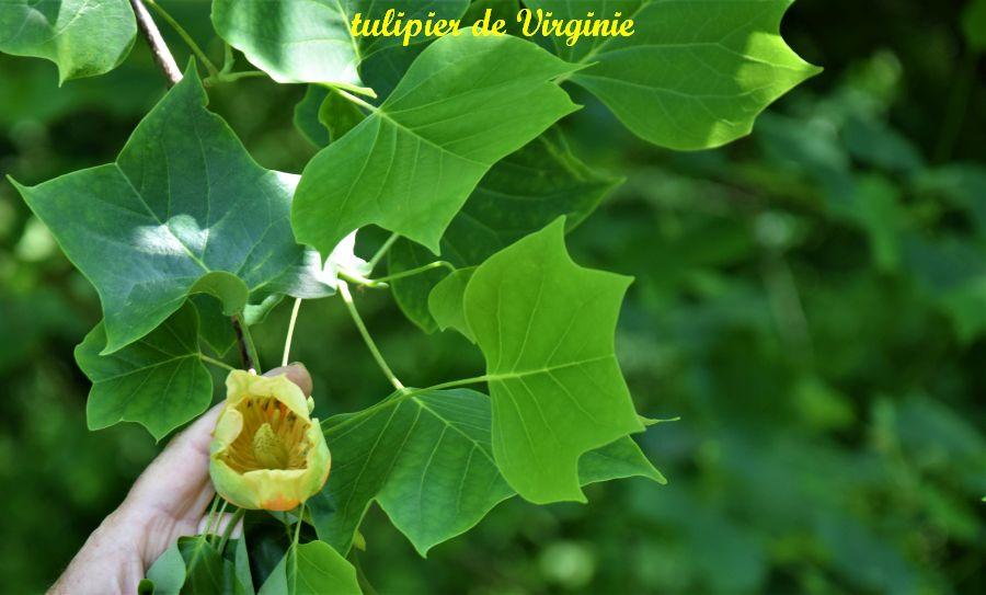 27 tulipier de Virginie