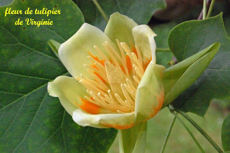 28 tulipier virginie