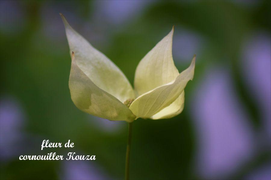 32 fleur de cornouiller Kouza