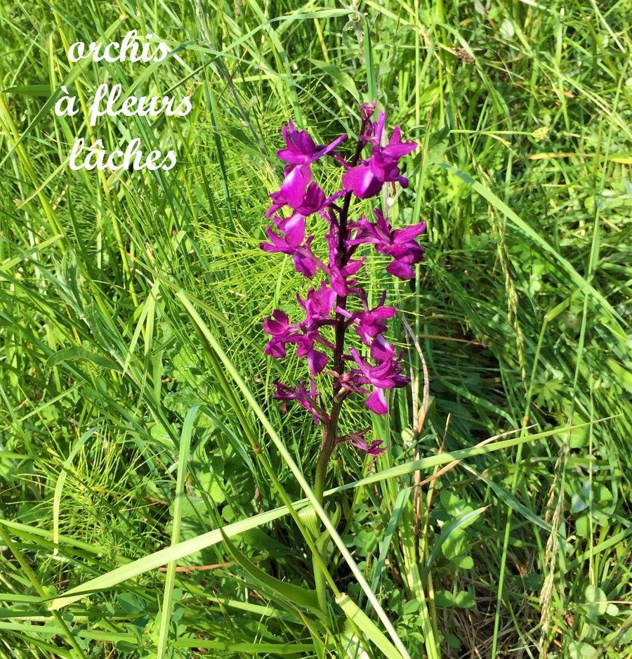 43 orchis à fleurs lâches