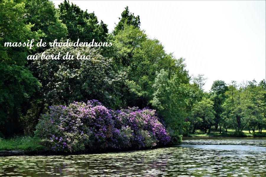 45 massif de rhododendrons
